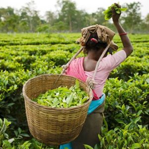Resorts In Munnar : Traditional Costumes For Plucking Tea Leaves